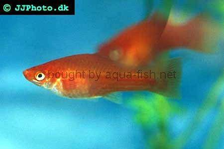 http://s0.aqua-fish.net/imgs/fish2/swordtail-2-female.jpg