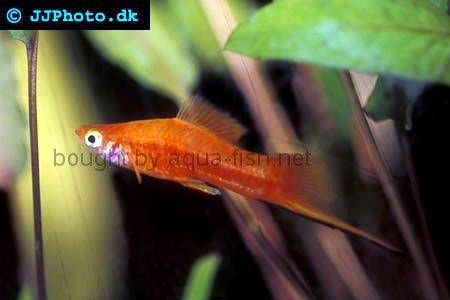 http://s0.aqua-fish.net/imgs/fish2/swordtail-2-male.jpg