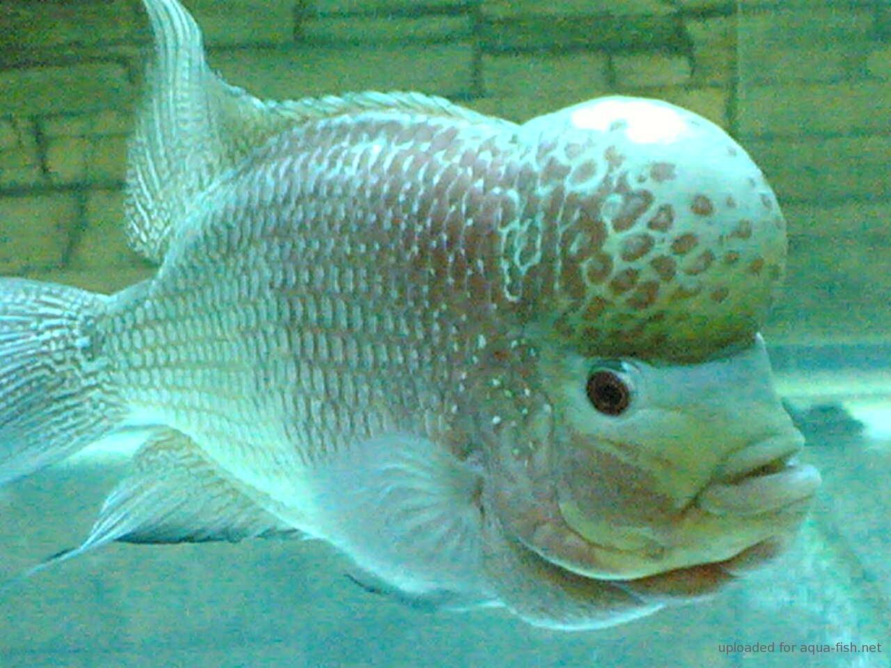 flowerhorn breeding hybrid - HD 1280×960
